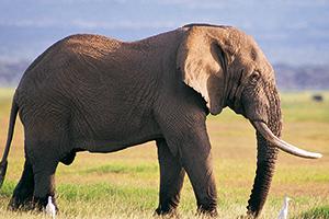 Elephant on African grass land