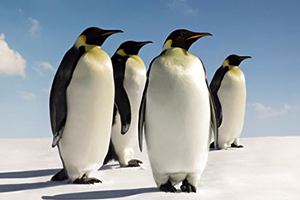 A group of penguin