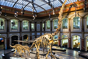 Brachiosaurus Skeleton display in museum