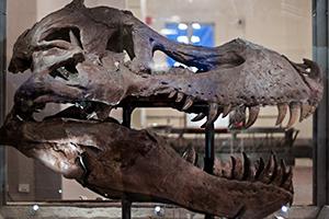 Dinosaur Head Skull display in museum