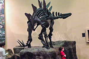 Stegosaurus Skeleton display in museum