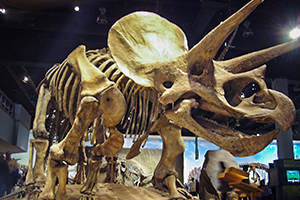 Triceratops Skeleton display in museum