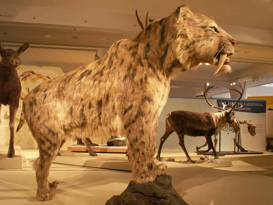 Saber-toothed tiger display in museum