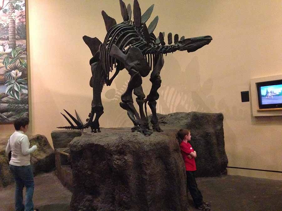Stegosaurus skeleton displayed in museum