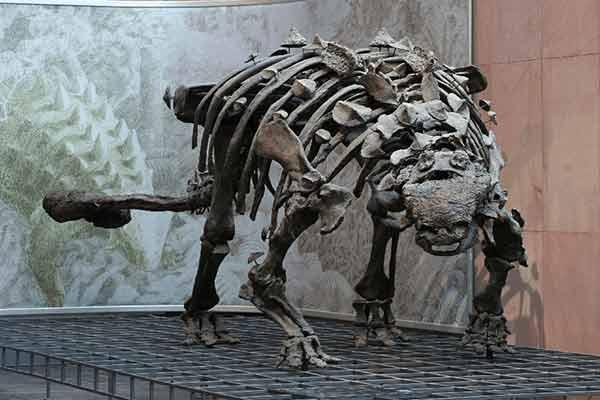 Ankylosaurus skeleton