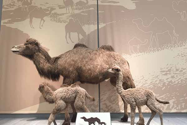 animatronic-camel-for-exhibition