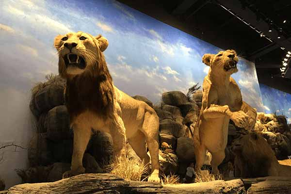 animatronic-lion-for-museum